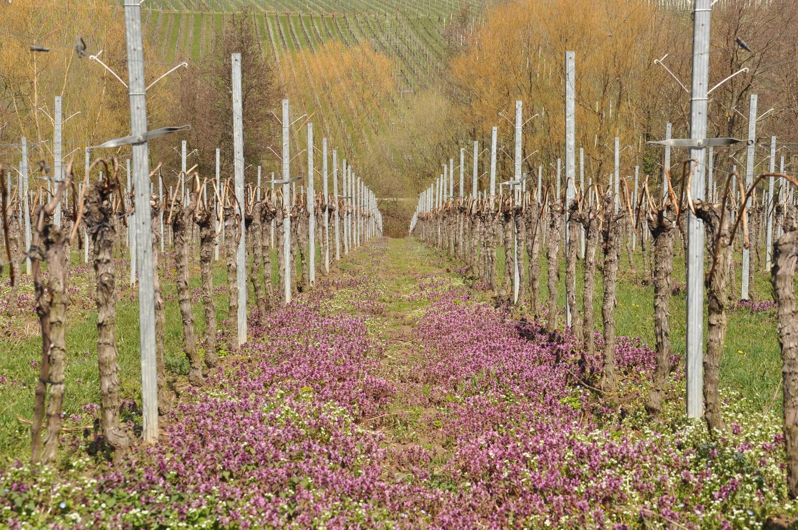 Blühende Weinberge in der Pfalz