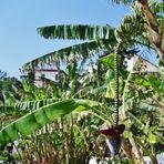 Blühender Bananenbaum