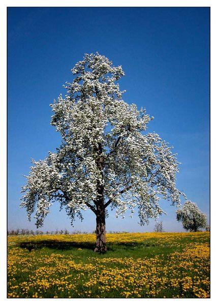 Blühender Baum 260403