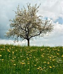 Blühender Baum auf Löwenzahnwiese