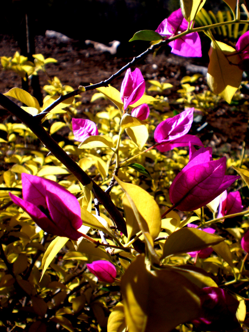blühender busch aus Australien