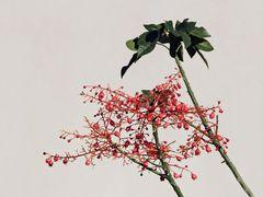 blühender Flaschenbaum