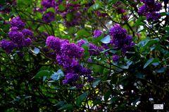 Blühender Fliederbaum