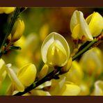 Blühender Ginster