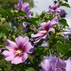 Blühender Hibiskus