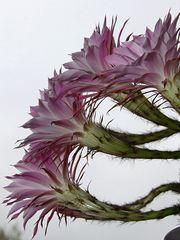 ... blühender Kaktus 2