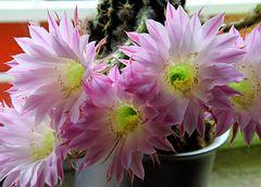 ... blühender Kaktus 3
