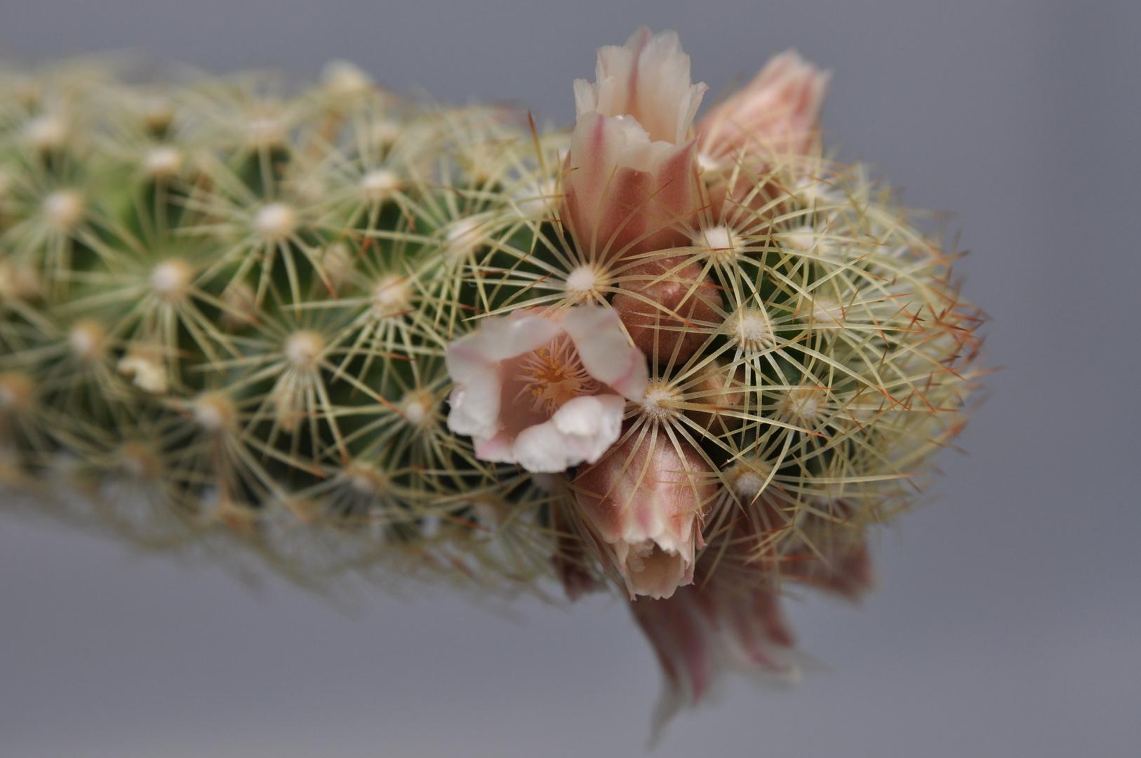 Blühender Kaktus (Makro)