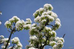 blühender Kirschbaum - Der Frühling ist da - trotz Regen und Sturm