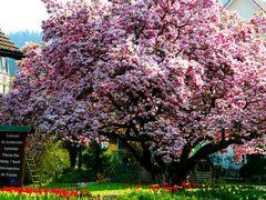 blühender Prachtsbaum
