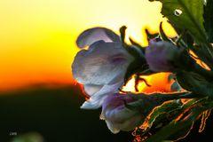 Blühender Sonnenuntergang