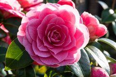 Blühendes aus meinem Garten Kamelie   DSC_1589