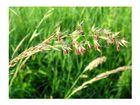 Blühendes Getreide