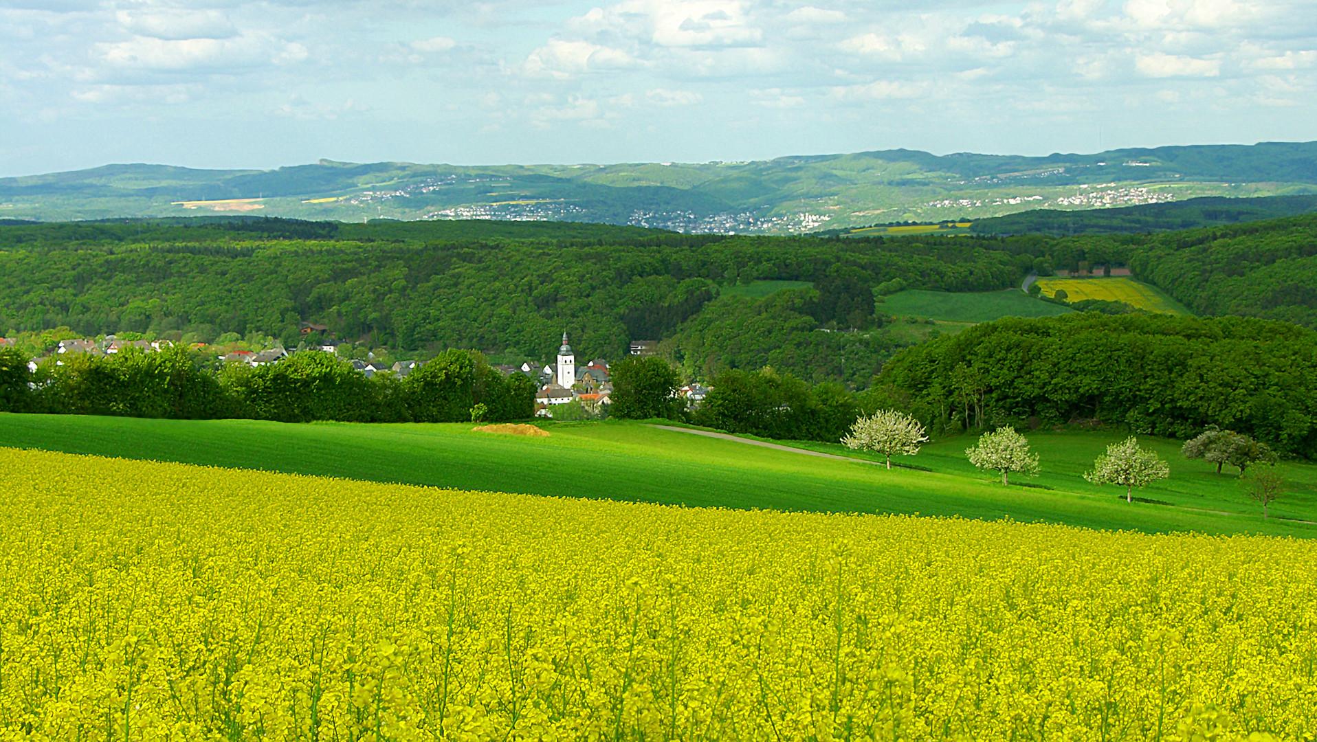 Blühendes Rapsfeld, in der Eifel!