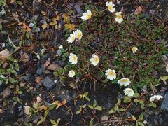 Blühendes Spitzbergen    P8250671
