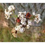 Blühpflanzenbesucher am 17.09.21