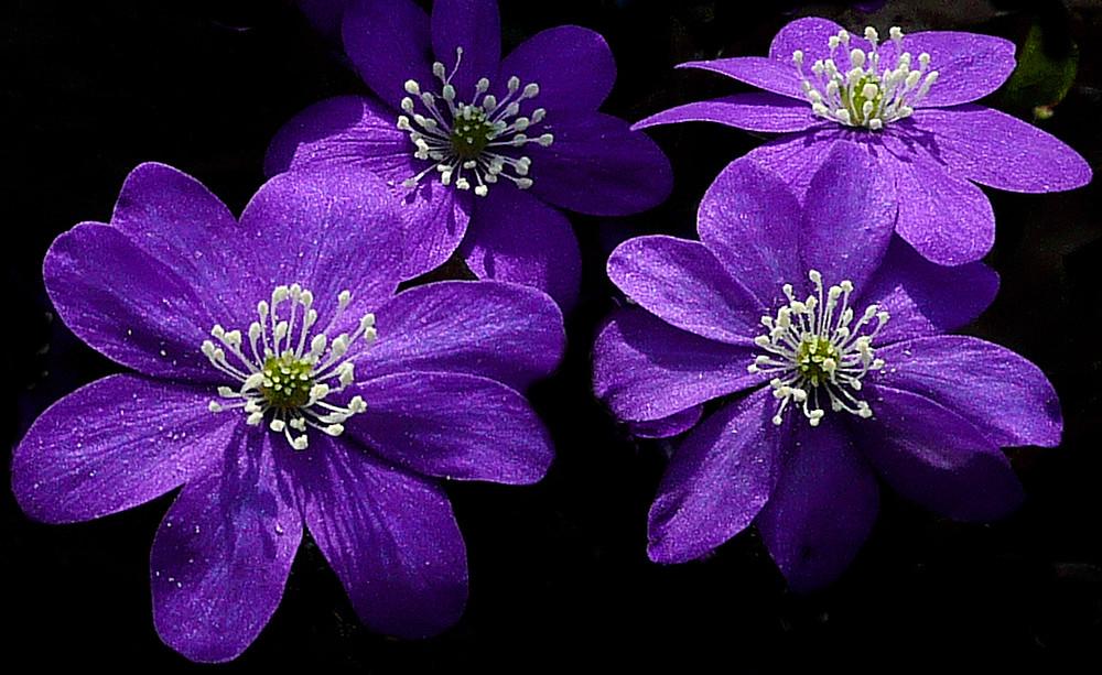 Bluer anemones