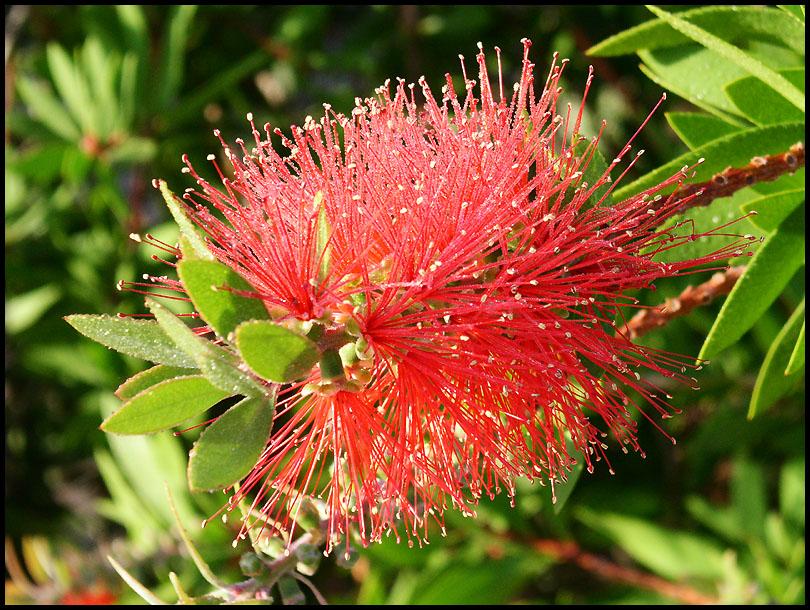 Blüte am Strauch mit Wassertröpfchen