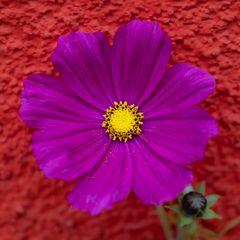 Blüte an der Wand-0697