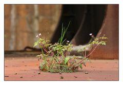 Blüte auf Rost I