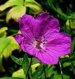 Blüte aus meinen ersten Anfängen vor 2 Jahren. 2. Foto! Cosmea?