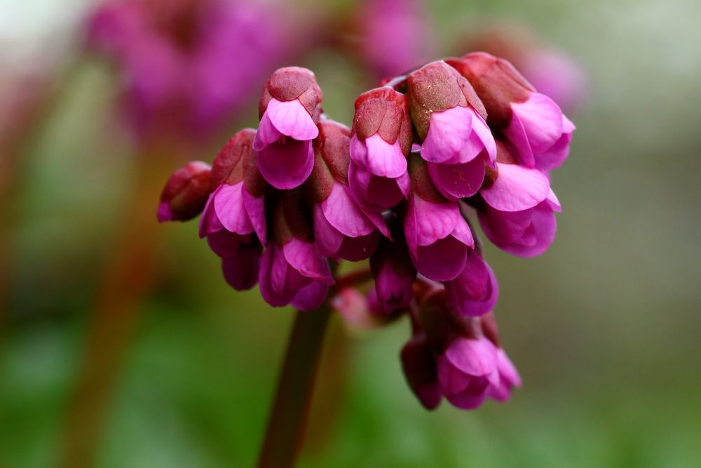 Blüte der Bergenie (I)