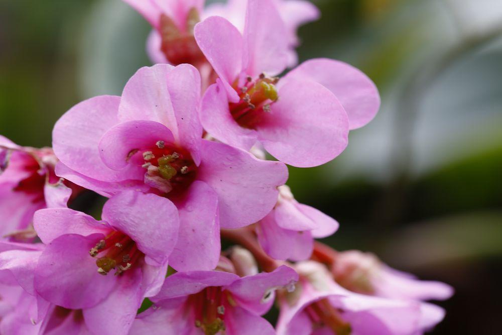 Blüte der Bergenie (III)