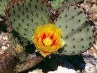 Blüte der Feigenkakteen