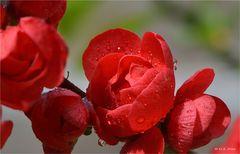 Blüte der jap. Zierquitte.......