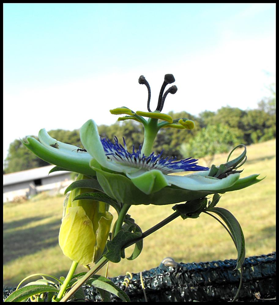 Blüte der Passionsfrucht
