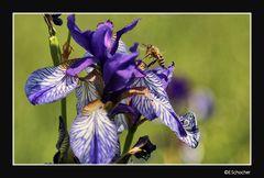 Blüte der sibirischen Schwertlilie (blaue Iris)