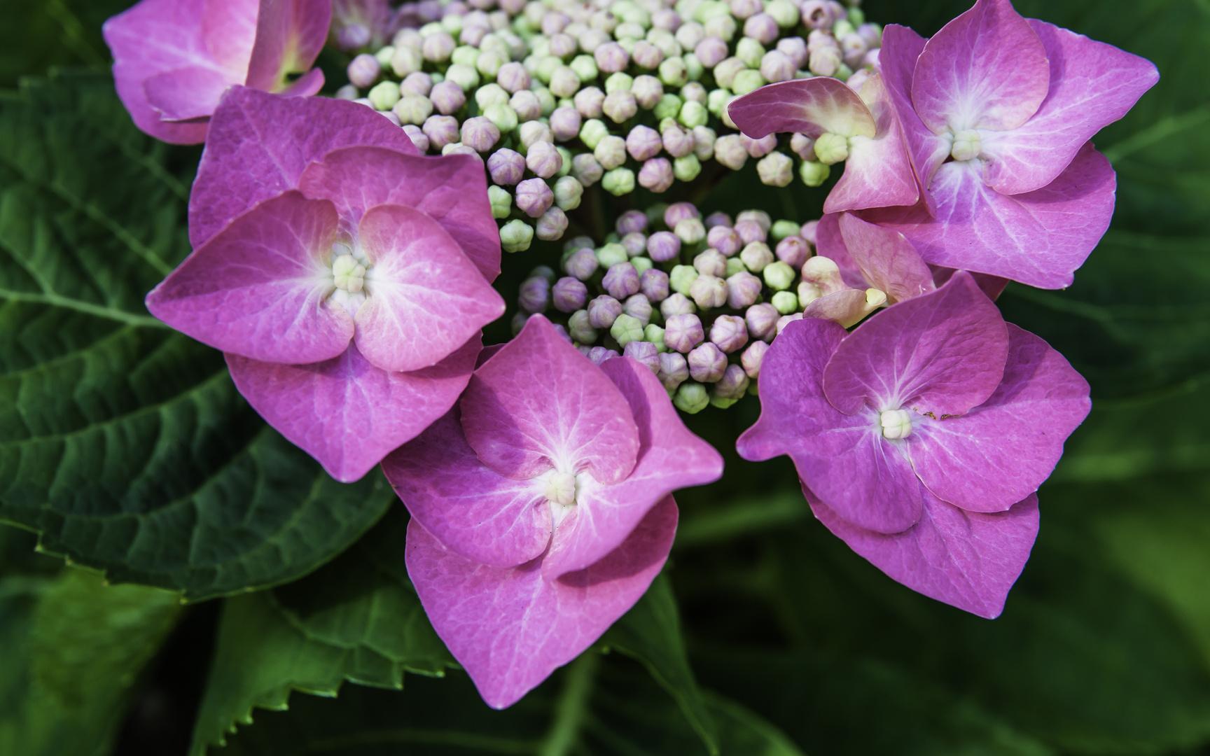 Blüte der Tellerhortensie - II