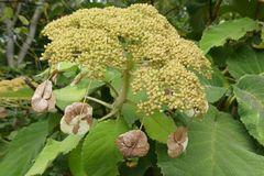Blüte der Waldhortensie ...