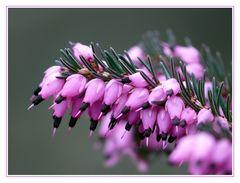 Blüte der Winterheide