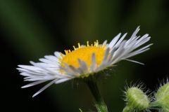 Blüte des Berufkrautes