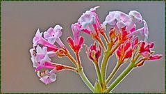 Blüte des Duftschneeball