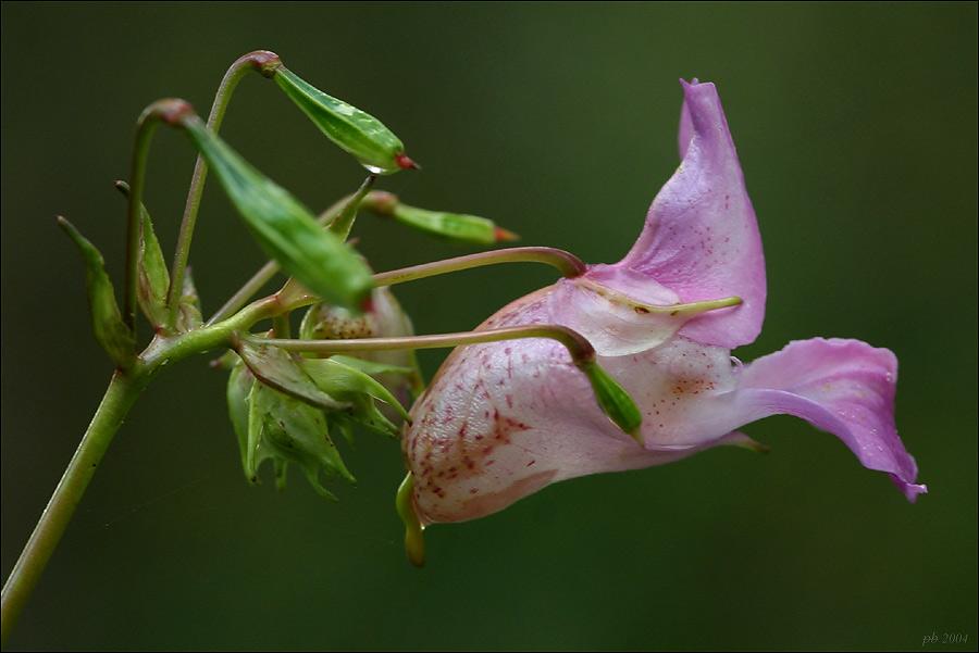 Blüte des Indischen Springkraut