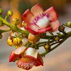 Blüte des Kanonenkugelbaums