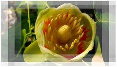 Blüte des Tulpenbaum