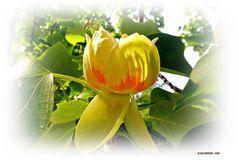 Blüte des Tulpenbaum  ..