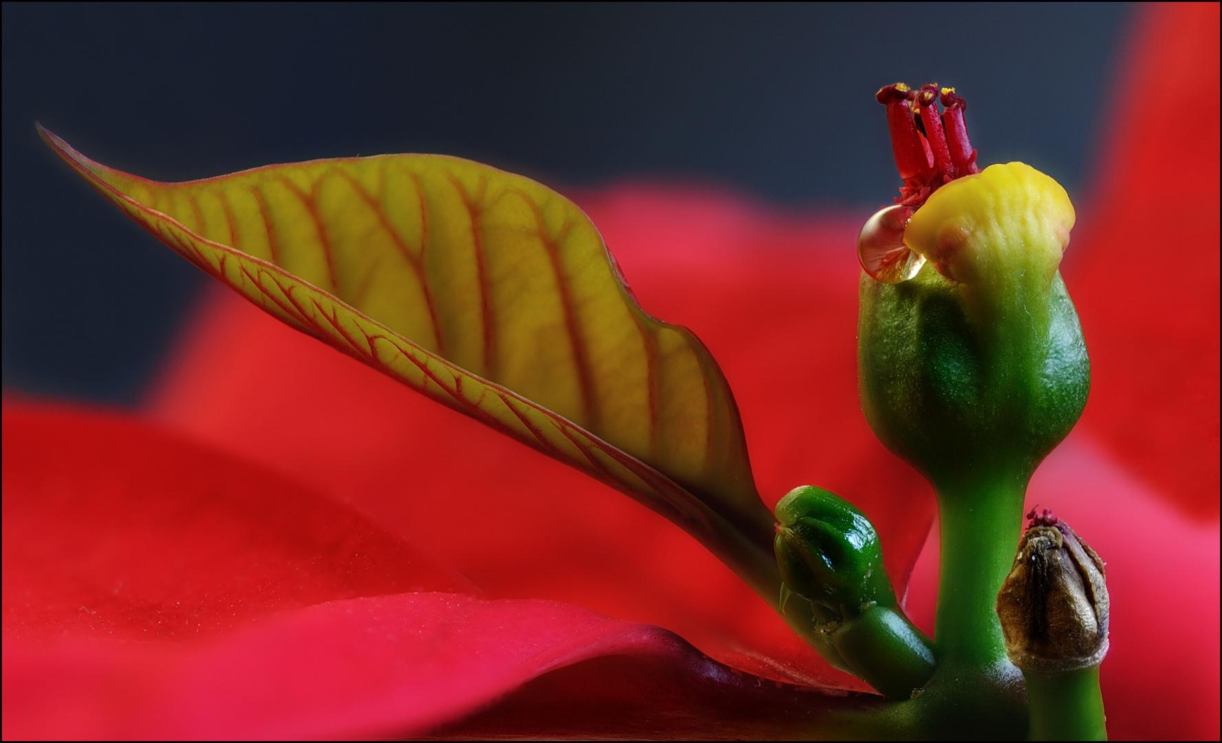Blüte des Weihnachtssterns