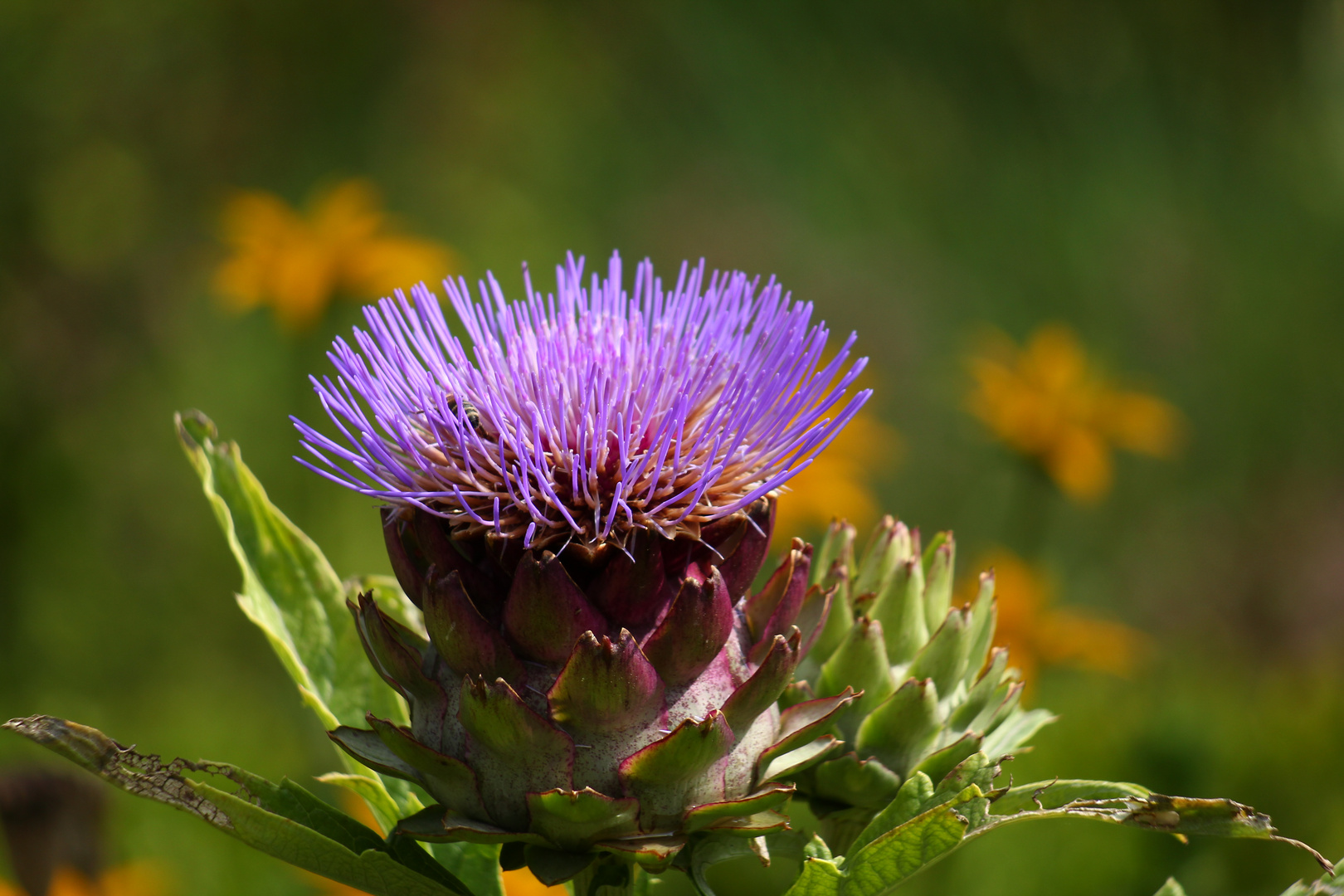Blüte einer Artischocke