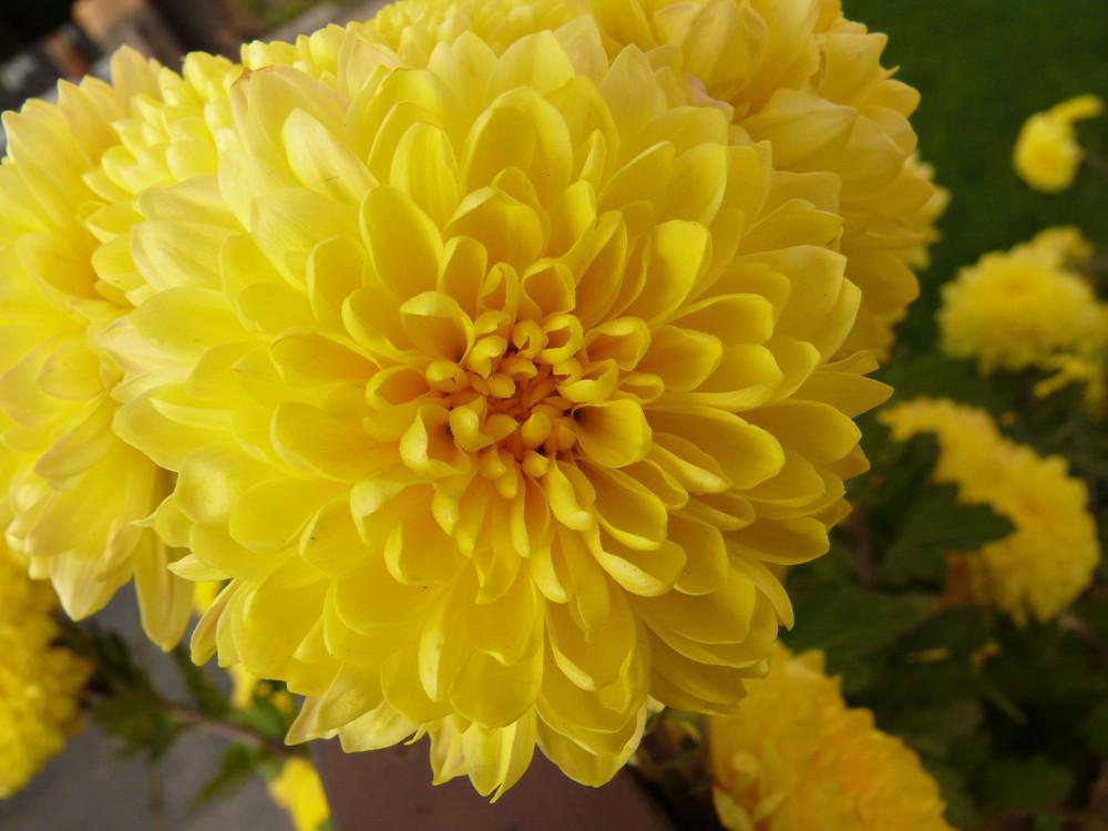 Blüte einer Aster