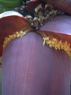 Blüte einer Bananenpalme