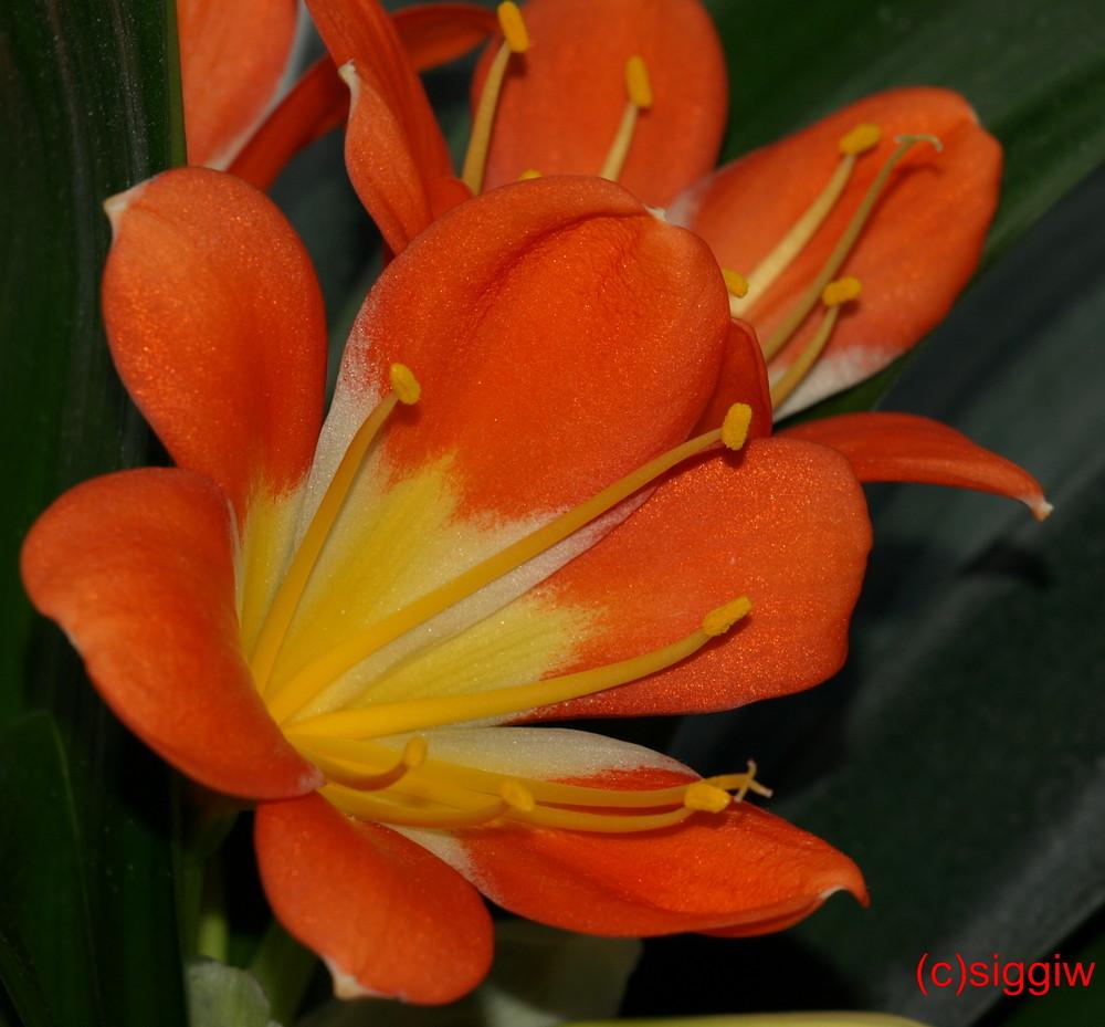 Blüte einer Clivie