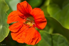 Blüte einer Kapuzinerkresse