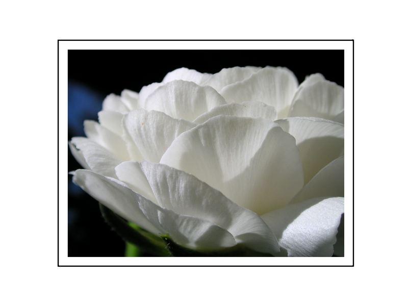 Blüte einer Knollenbegonie