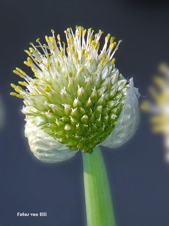 Blüte einer Lauchzwiebel
