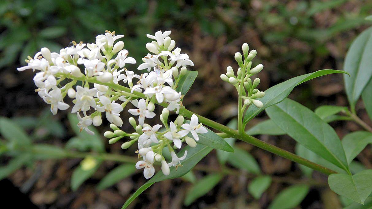 Blüte einer Legusterpflanze