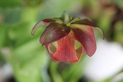 Blüte einer Schlauchpflanze (Sarracenia oreophila )